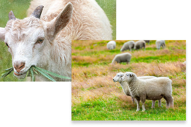 scrapie sheep disease eradication