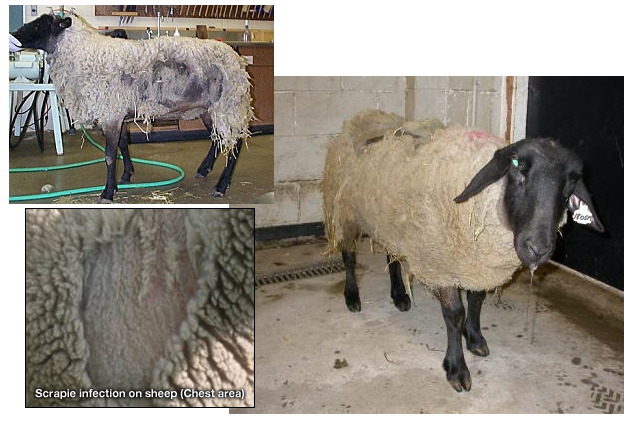 signs symptoms scrapie sheep