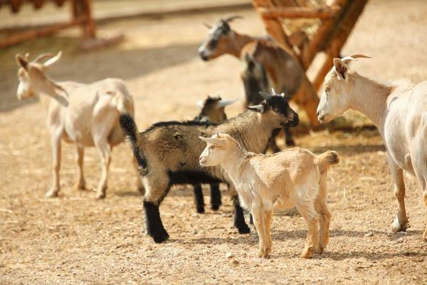 canadian farm goats