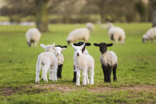 genotyping sheep and goats for scrapie