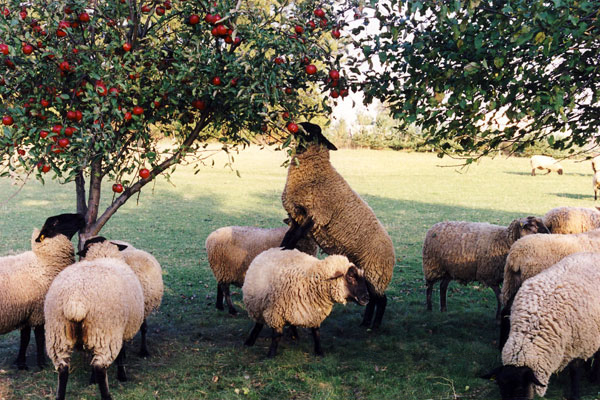 sheep eating apples