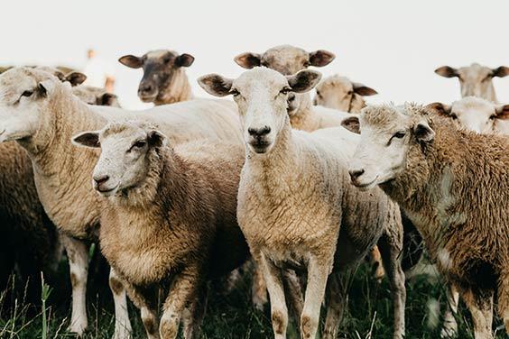 canadian sheep